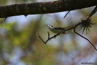 Polioptila plumbea; Tropical gnatcatcher; Blygrå myggsnappare