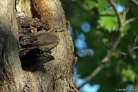 Phoenicurus phoenicurus; Common redstart; Rödstjärt