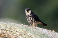 Falco subbuteo; Eurasian hobby; Lärkfalk