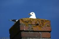 Larus canus; Common gull; Fiskmås