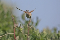 Carduelis cannabina; Common linnet; Hämpling