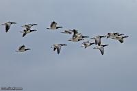 Branta leucopsis; Barnacle goose; Vitkindad gås