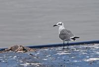 Leucophaeus atricilla; Laughing gull; Sotvingad mås