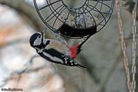 Dendrocopos major; Great spotted woodpecker; Större hackspett