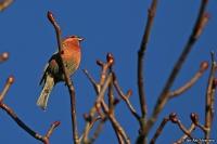 Pinicola enucleator; Pine grosbeak; Tallbit