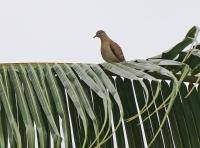 Columbina minuta interrupta; Plain-breasted ground dove; Sparvduva