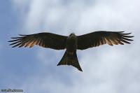 Milvus aegyptius; Yellow-billed kite; Gulnäbbad glada