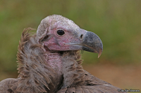 Torgos tracheliotos; Lappet-faced [Nubian] vulture; Örongam
