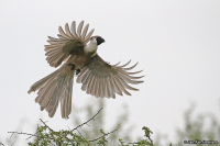 Corythaixoides personatus; Bare-faced go-away-bird; Barkindad tofsturako