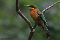 Merops oreobates; Cinnamon-chested bee-eater; Bergbiätare