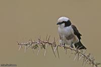 Eurocephalus rueppelli; Northern white-crowned [white-rumped] shrike; Vitgumpad törnskata