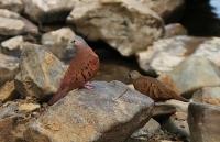 Columbina talpacoti; Ruddy ground dove; Rostmarkduva