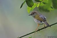 Camaroptera brevicaudata; Gray-backed camaroptera; Gråryggig kamaroptera