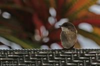 Muscicapa aquatica; Swamp flycatcher; Sumpflugsnappare