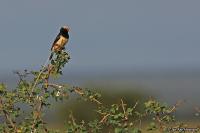 Vidua fischeri; Straw-tailed whydah; Stråstjärtad änka