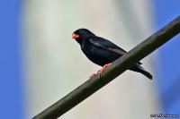 Vidua chalybeata; Village indigobird; Byänka