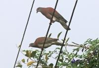 Patagioenas cayennensis pallidicrissa; Pale-vented pigeon; Rostduva