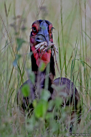 Bucorvus leadbeateri; Southern ground-hornbill; Sydlig hornkorp