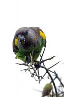 Poicephalus meyeri; Meyer's parrot; Stäppapegoja