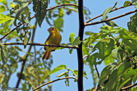 Erythrocercus holochlorus; Little yellow-flycatcher; Gul spretstjärt