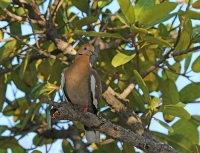 Zenaida asiatica; White-winged dove; Vitvingad duva