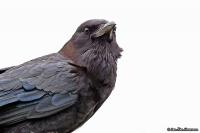Corvus capensis; Cape [Black] crow [rook]; Kapråka