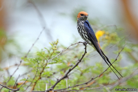 Cecropis abyssinica; Lesser-striped swallow; Mindre strimsvala