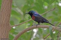 Cinnyris erythrocercus; Red-chested sunbird; Rödbröstad solfågel