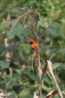 Euplectes nigroventris; Zanzibar red bishop; Zanzibareldvävare