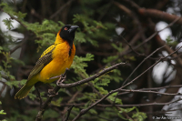 Ploceus melanocephalus; Black-headed weaver; Svarthuvad vävare