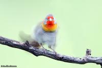 Pytilia melba; Green-winged pytilia; Melbaastrild