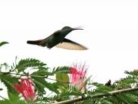 Amazilia tzacatl; Rufous-tailed hummingbird; Roststjärtad kolibri
