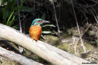 Alcedo atthis; Common kingfisher; Kungsfiskare