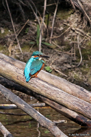 Alcedo atthis; Common kingfisher; Kungsfiskare
