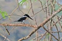 Chloroceryle americana; Green kingfisher; Grön kungsfiskare