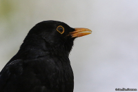 Turdus merula; Common blackbird; Koltrast