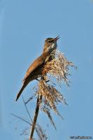 Acrocephalus arundinaceus; Great reed-warbler; Trastsångare
