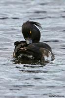 Aythya fuligula; Tufted duck; Vigg