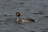 Podiceps cristatus; Great crested grebe; Skäggdopping