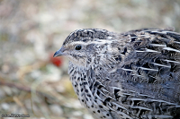 Coturnix japonica; Japanese quail; Japansk vaktel