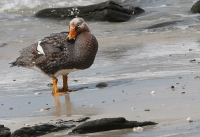 Tachyeres brachypterus; Falkland flightless steamerduck; Kortvingad ångbåtsand