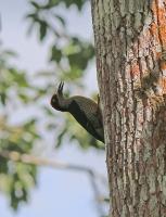 Melanerpes pucherani; Black-cheeked woodpecker; Svartkindad spett