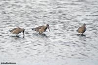 Limosa lapponica; Bar-tailed godwit; Myrspov