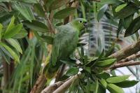 Amazona farinosa; Mealy amazon; Mjölamazon
