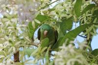Brotogeris jugularis; Orange-chinned parakeet; Orangestrupig parakit