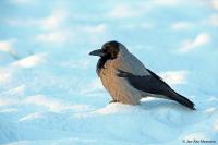 Corvus [corone] cornix; Hooded crow; gråkråka