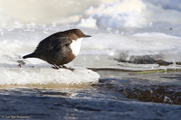 Cinclus cinclus; White-throated dipper; Strömstare