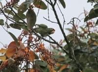 Psittacara finschi; Crimson-fronted [Finsch's] parakeet [conure]; Finschparakit