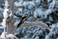 Dendrocopos major; Great spotted woodpecker; Större hackspett