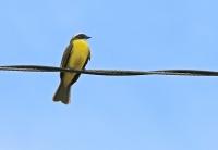 Myiozetetes similis; Social [Vermilion-crowned] flycatcher; Rödkronad tyrann